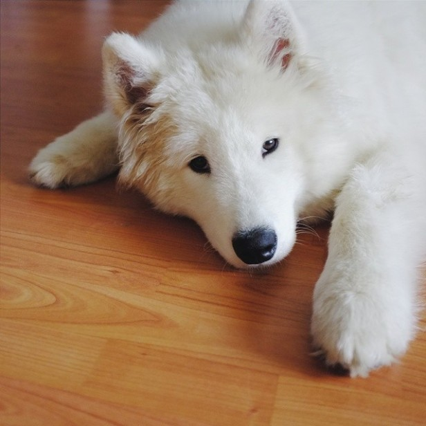cute_white_dog